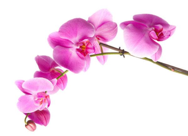 Девять жизней орхидей